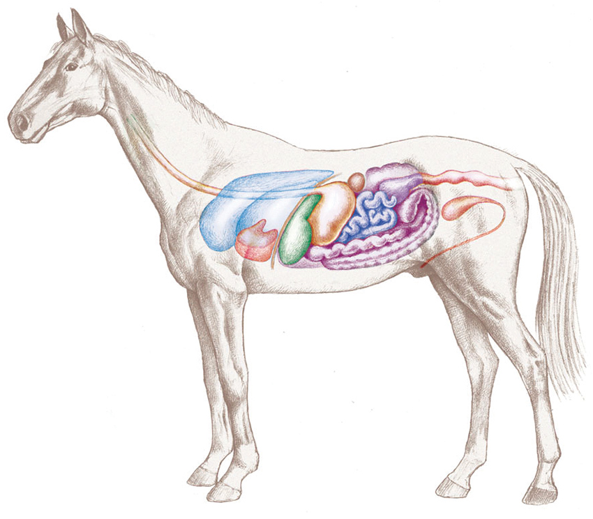 The Horse: Digestive system